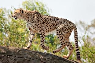 Cheetah_Feb09_02