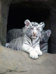 الابيض-Тигрята-альбиносы_02