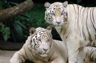 الابيض-Singapore_Zoo_Tigers