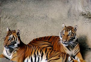 الببر الإندونيسيّ.-Tiger_032