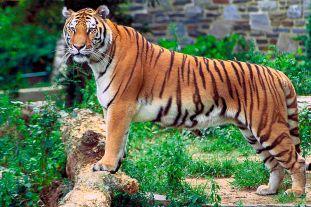 الببر البنغاليّ.Panthera_tigris_tigris