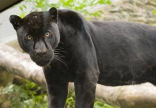 dark-leopard اسود