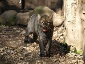 grey-jaguarundin