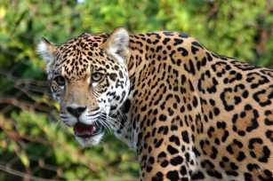 jaguar-08