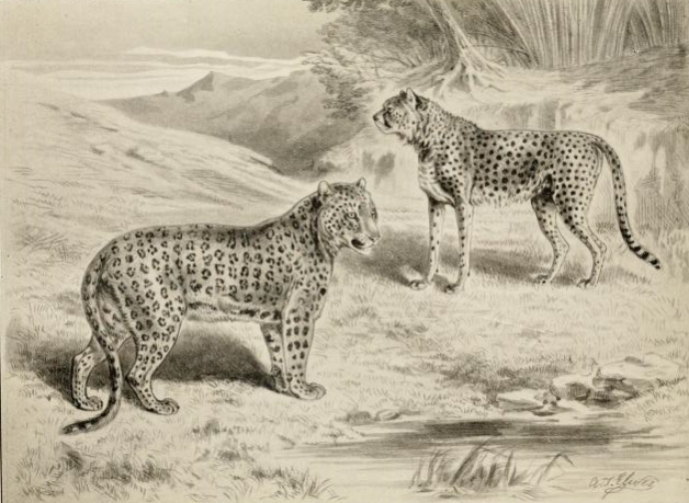 Leopard_&_cheetahرسم يُقارن بين نمر (على اليسار) وفهد (على اليمين).