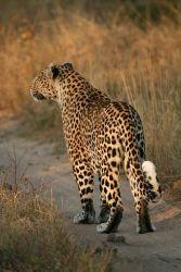 -Leopard_africaالنمر الإفريقي