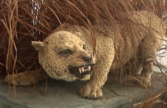 Panthera_pardus_adersiالنمر الزنجباري