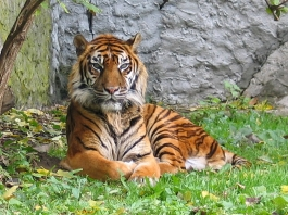 Panthera_tigris_sumatran_subspeciesالببر السومطري.