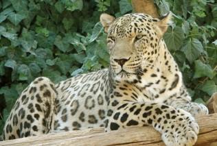 Persian-Leopard-Panthera-pardus-فارسي