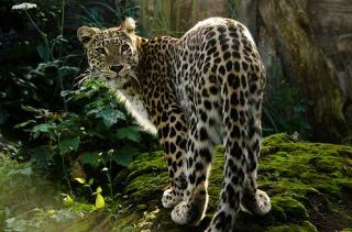 persian-leopardفارسي