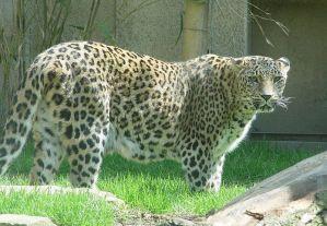 Persischer_leopard2cele نمر فارسي