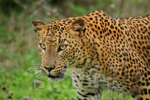 sri-lankan-leopard سري لانكا 1