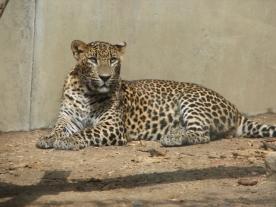 SriLankaLeopard-نمر سريلانكا