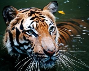 Tiger_in_the_waterالببر المالاوي.