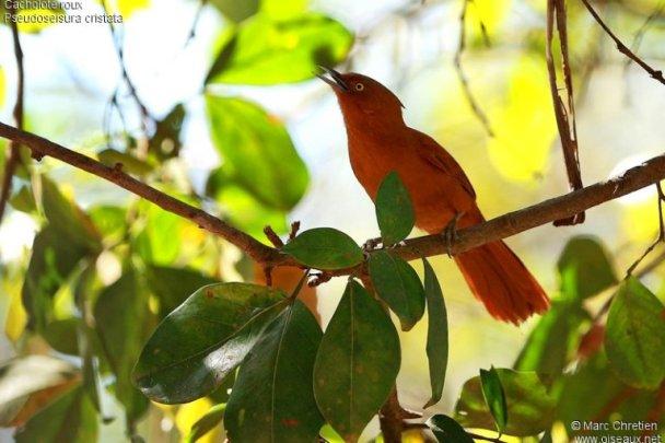 Cacholote roux Pseudoseisura cristata Caatinga Cacholote