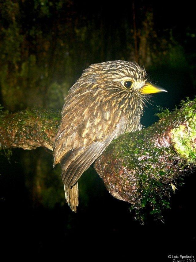 Tamatia brun - oiseaux.net
