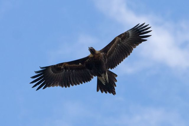 1024px-Wedge_tailed_eagle_in_flight04