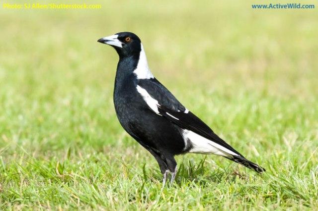 Australian-Magpie