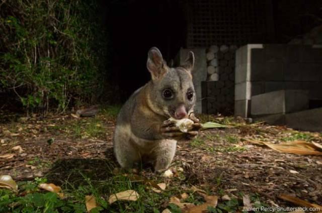 Australian-Possum