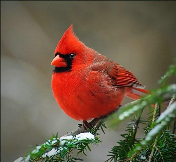 cadinal-birds