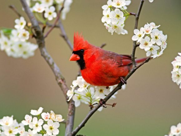 cardinal-birds-2