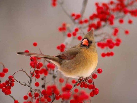Female-Northern-Cardinal-Among-Hawthorn-Berries_800x600