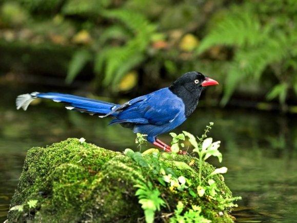 Formosan-Blue-Magpie-Urocissa-caerulea-1