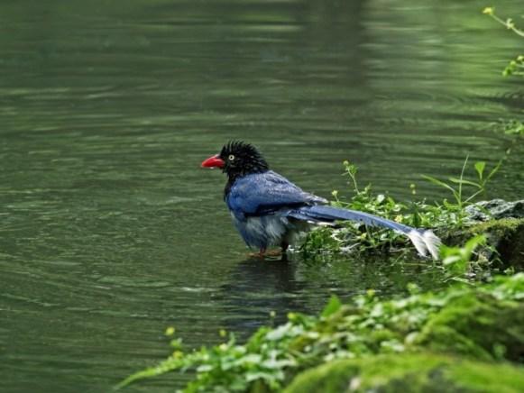 Formosan-Blue-Magpie