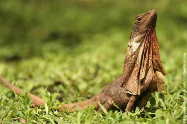 Frill-necked-Lizard