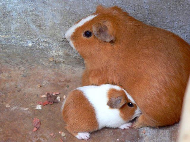 guinea_pig_(cavia_porcellus)