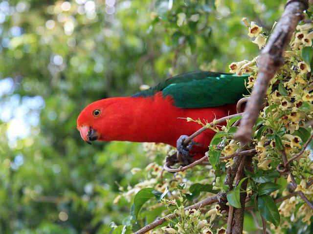 King_Parrot_in_South-East_Queensland الملك