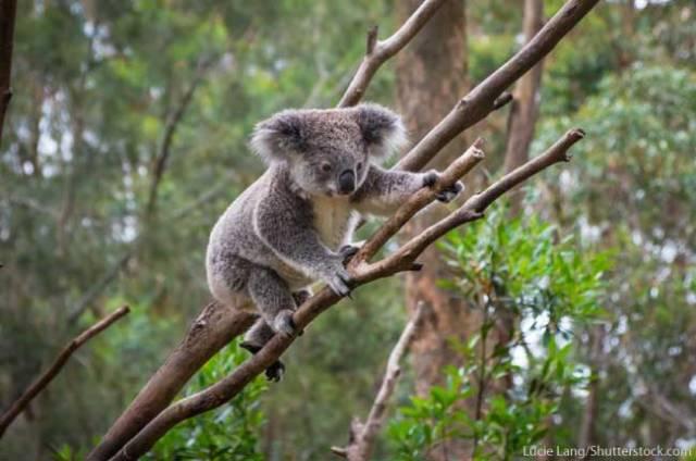 Koala-Australia-Animal