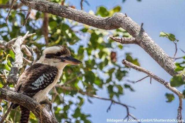 Laughing-Kookaburra-Kingfisher