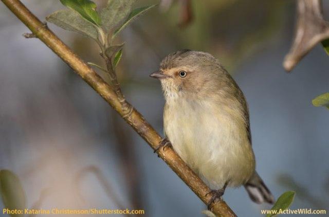 List-of-Australian-Birds-Weebill