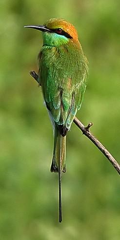 Merops_orientalisوروار شرقي