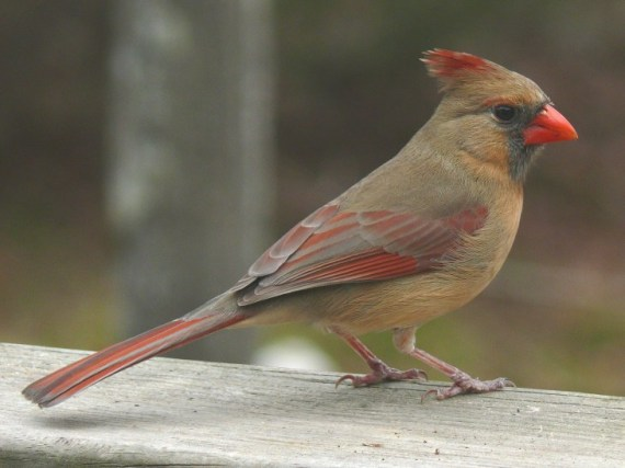 Northern_Cardinal_Female-27527