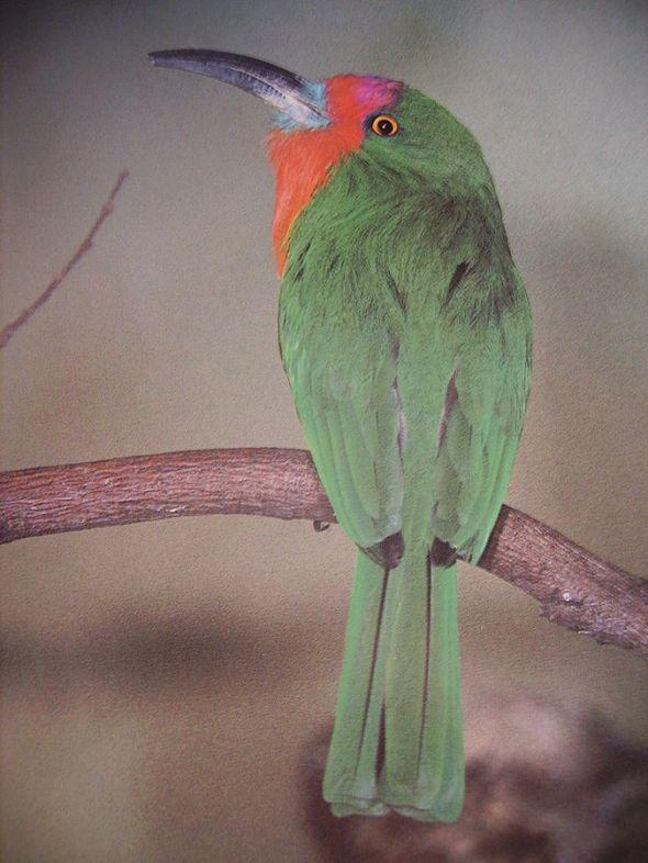 Red-bearded_bee-eaterوروار أحمر اللحية