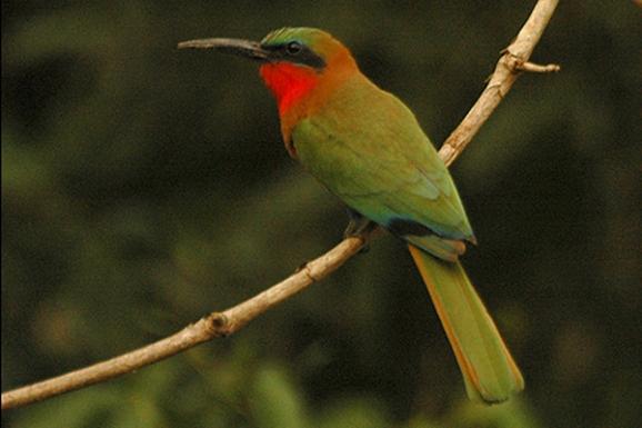 Redthroatedbeeeater1وروار أحمر الحنجرة