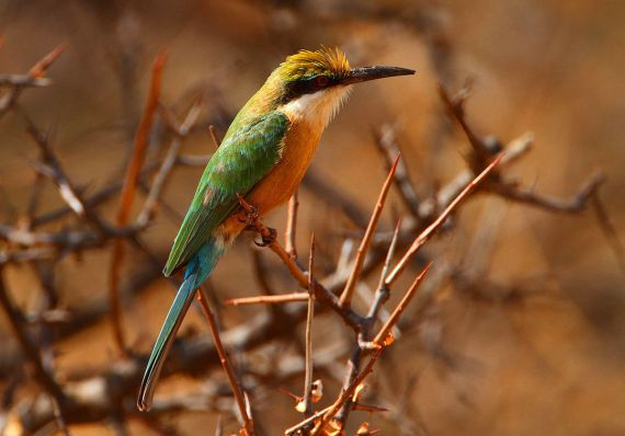 Somali_Bee-eater,_Merops_revoilii صومالي