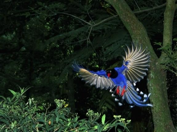 Taiwan-Blue-Magpie