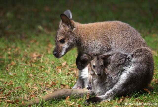Wallaby