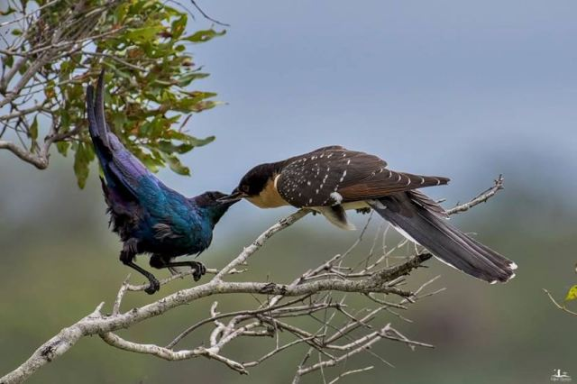 Meves's Starling feeding GSC