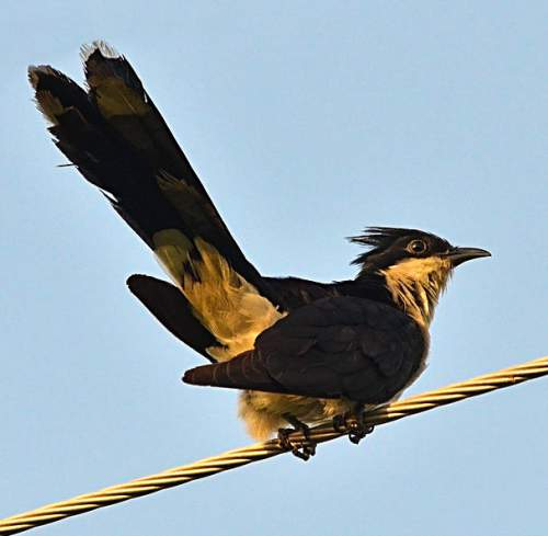 a-Jacobin Cuckoo Clamator jacobinus2