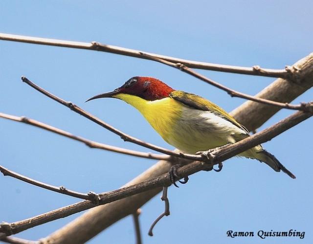 bp8p9856_handsome_sunbird_male_pg_pse