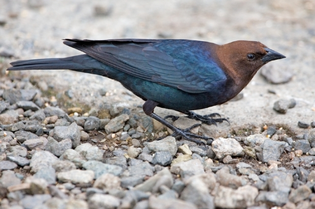 Brown-Headed_Cowbirdشُحرُور البَقر بُنيّ الرأس