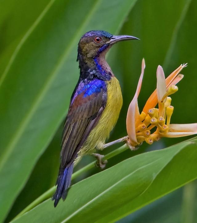 Brown-throated_Sunbird
