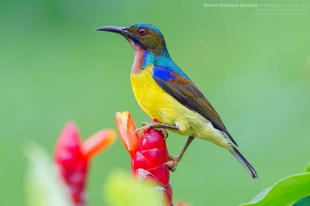 Brown-throated_Sunbird_-_FB