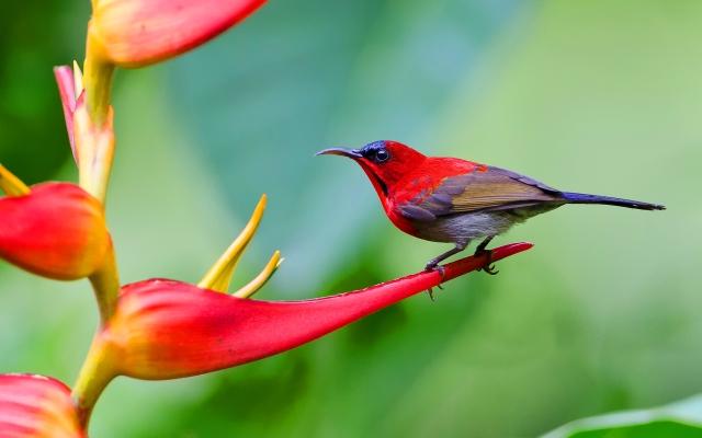 crimson-sunbird (1)