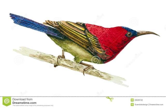 crimson-sunbird-28599102