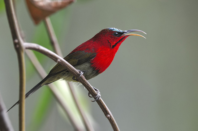 Crimson-Sunbird-Bird